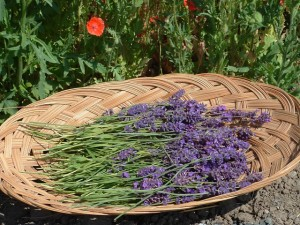 Lavender is one of the more versatile herbs in the healing garden.