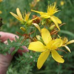 st-johns-wort-flowers1